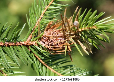 Branch of spruce with Pineapple gall adelgid (Adelges abietis). Browned gall after release of adelgids