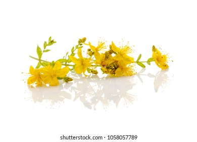 Branch Of St. John's Wort With Flowers On A White background. Medicinal plant.