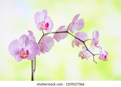 Branch of striped white and pink orchids phalaenopsis flower close-up on a natural yellow-green background