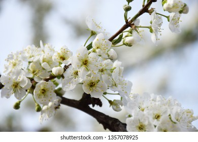 Branch of sweet cherry with white flowers close up. Spring flowering of fruit trees in the garden. Inflorescences white cherry flowers on light background. Spring concept, spa.