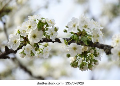 Branch of sweet cherry with white flowers close up. Spring flowering of fruit trees in the garden. Inflorescences white cherry flower on light background. Spring concept, spa.