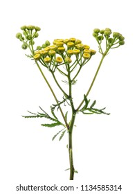 Branch of tansy is ordinary isolated on white background, also used in medicine