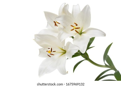 A branch of tender white lilies Isolated on a white background.