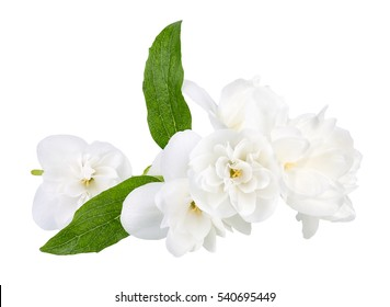 Branch of terry jasmine flowers with green leaves isolated on white background