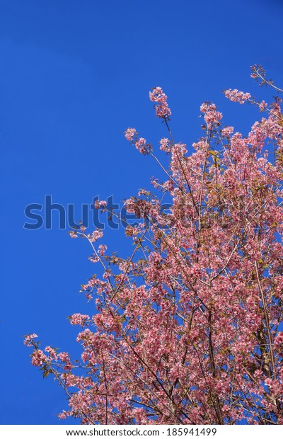 The Branch Thai Sakura blooming spring tree branches with pink  flowers