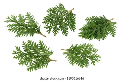 Branch of thuja isolated on white without shadow