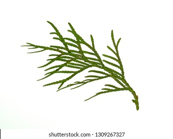 Branch of thuja tree, isolated. Foliage of Japanese Thuja tree, isolated on pure white background. Copy-space.