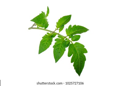 branch of tomato leaves iaolsted on white