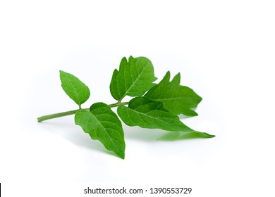 Branch of tomato leaves isolated on white