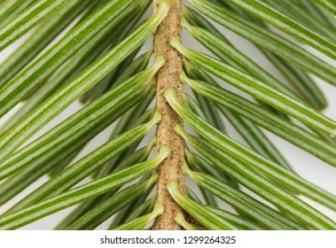 Branch top of silver fir (Abies alba) isolated on white.