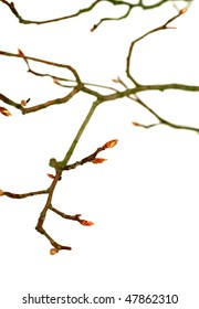 branch of tree with buds isolated on white