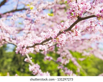 Branch of tree Eastern Redbud, other name Judish tree, latin name Cercis Canadensis, in blossom with pink flowers.