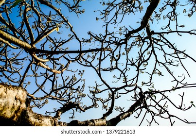 Branch of tree and Frangipani flowers with blue sky