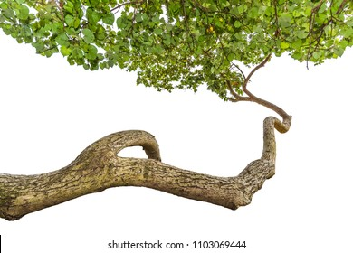 Branch of a tree with green leaves isolated on white background,Twisted branches protruding into the air there are leaves at the ends.