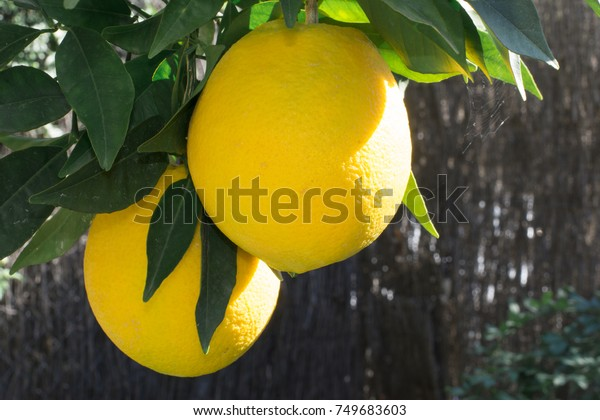 A branch of the tree with oranges