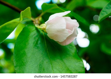 Branch of tree with  quince bud and leaves.White quince flowers and leaves.White quince blossom