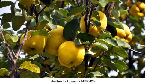 Branch of tree with ripe fruits of quince and leaves