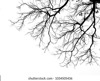 branch of tree silhouette on white background