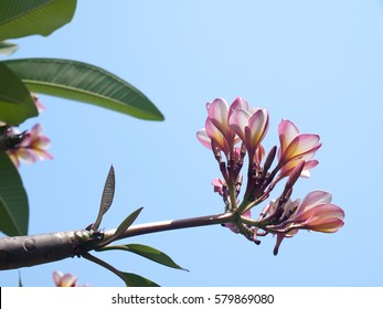Branch of tropical flowers frangipani (Plumeria) with blue sky