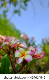 Branch of tropical pink flowers frangipani (plumeria)with blues ky and leaves background  - Shutterstock ID 414614848