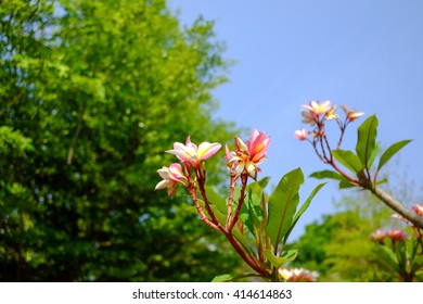 Branch of tropical pink flowers frangipani (plumeria)with blues ky and leaves background - Shutterstock ID 414614863