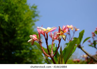 Branch of tropical pink flowers frangipani (plumeria)with blues ky and leaves background  - Shutterstock ID 414614884