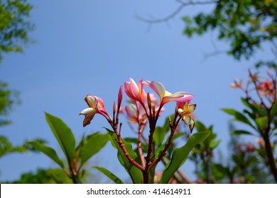 Branch of tropical pink flowers frangipani (plumeria)with blues ky and leaves background  - Shutterstock ID 414614911