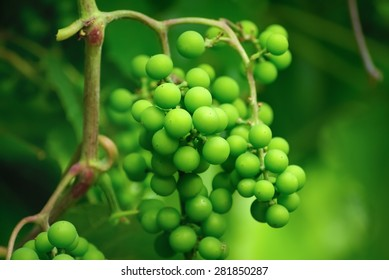 Branch unripened green grapes on a blurred background of green foliage. Shallow depth of field. Selective focus.