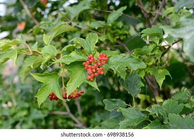 The branch of the viburnum.
