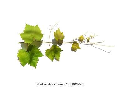 Branch of vine leaves or grape branch with green leaves with shadow, isolated on white background with clipping path.