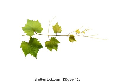 Branch of vine leaves or grape branch with green leaves isolated on white background for decoration with clipping path.