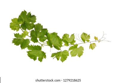 Branch of vine leaves isolated on white background