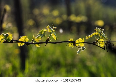 a branch of vineyard  pass to the image ,there are sun, warm atmosphere and foliage.