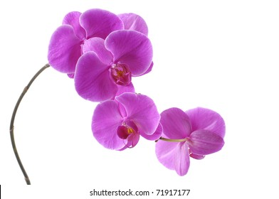 Branch of violet orchid isolated