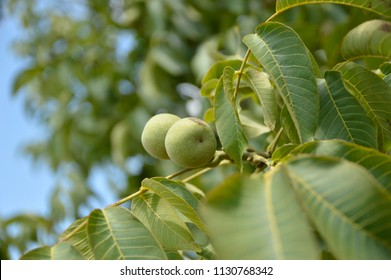 branch of walnut tree with young green walnuts