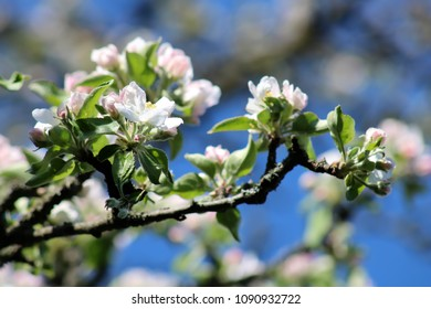 Branch with White Apple Blossoms in Spring, Bright Blue Sky
