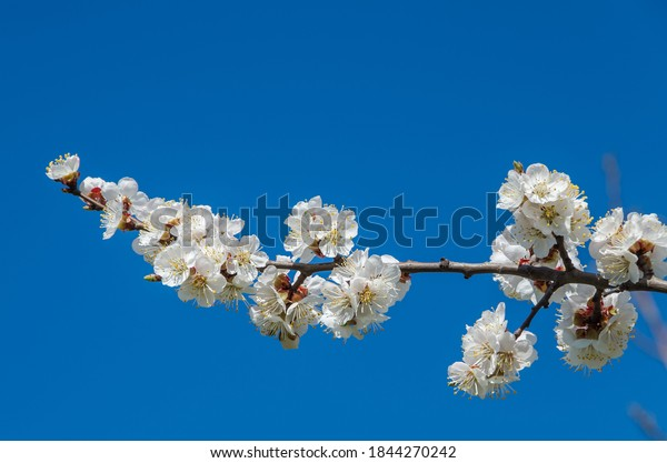 branch-white-cherry-blossoms-against-600