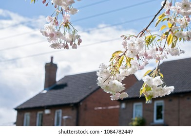 A branch of white cherry blossoms on background of houses of Dublin.