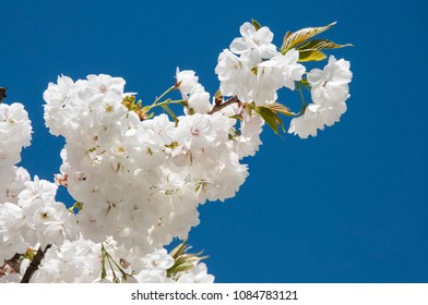 A branch of white cherry blossoms on background of blue sky. Springtime in Dublin.
