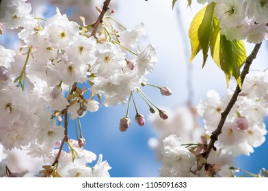 A branch of white cherry blossoms on background of blue sky.