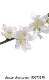 Branch of white cherry on white