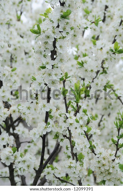 branch of white flowering tree