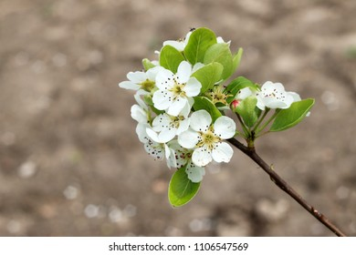 branch with white flowers of apple, malus domestica