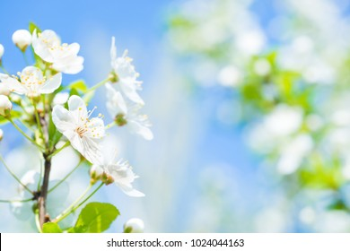 Branch with white flowers on a blossom cherry tree, soft background of green spring leaves and blue sky