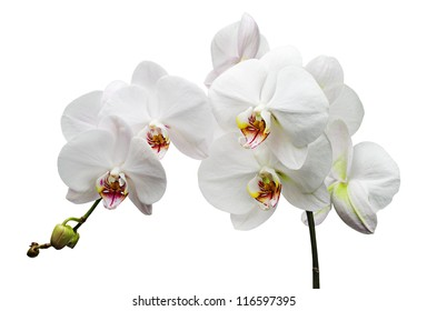 Branch with white flowers orchids isolated on white