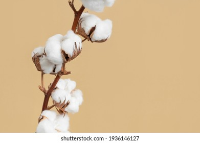 Branch with white fluffy cotton flowers on beige background flat lay. Delicate light beauty cotton background. Natural organic fiber, agriculture, cotton seeds, raw materials for making fabric - Shutterstock ID 1936146127