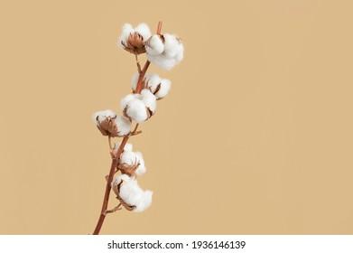 Zweig mit weißen flauschigen Baumwollblumen auf beigem Hintergrund, flach gelegt. Delikate hellschöne Baumwollhintergrund. Natürliche organische Fasern, Landwirtschaft, Baumwollsamen, Rohstoffe für die Herstellung von Gewebe