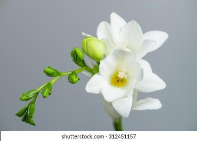 White Freesia Flower Images Stock Photos Vectors Shutterstock
