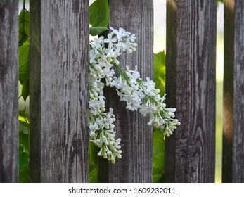 A branch of white lilac against a wooden fence in the garden on a sunny day. Original romantic spring nature template with flowers for decoration and design