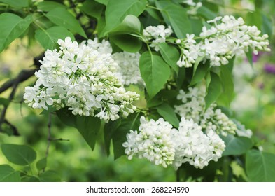 Branch of white lilac flowers with the leaves, natural spring background